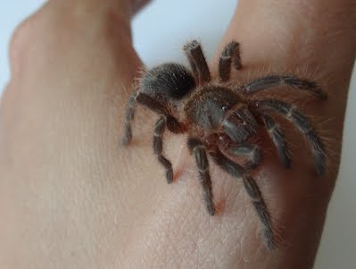 Chaco Golden Knee Tarantula (Grammostola pulchripes) - August 24th, 2012